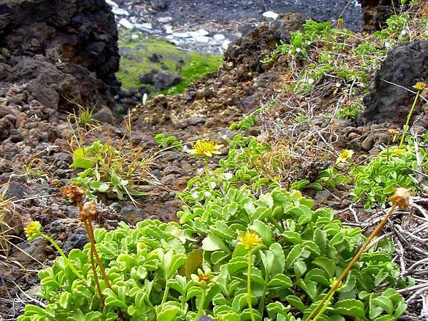 Maui Beggarticks (Bidens Mauiensis) https://www.sagebud.com/maui-beggarticks-bidens-mauiensis
