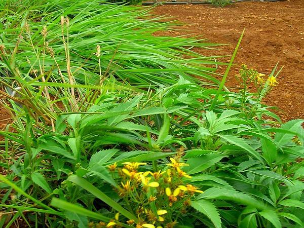 Grassland Beggarticks (Bidens Micrantha) https://www.sagebud.com/grassland-beggarticks-bidens-micrantha
