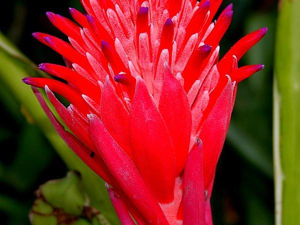 Foolproofplant (Billbergia Pyramidalis) https://www.sagebud.com/foolproofplant-billbergia-pyramidalis