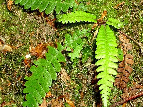 Midsorus Fern (Blechnum) https://www.sagebud.com/midsorus-fern-blechnum