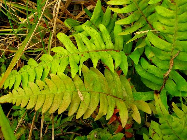 Hammock Fern (Blechnum Occidentale) https://www.sagebud.com/hammock-fern-blechnum-occidentale/