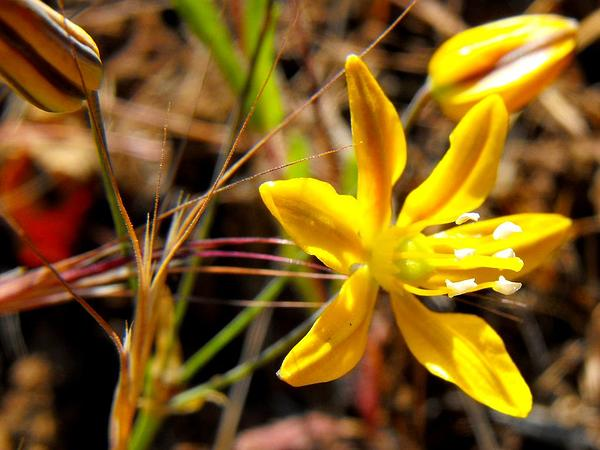 Goldenstar (Bloomeria) https://www.sagebud.com/goldenstar-bloomeria