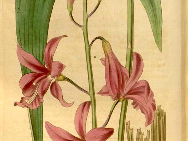 Flor De Pasmo (Bletia Patula) https://www.sagebud.com/flor-de-pasmo-bletia-patula
