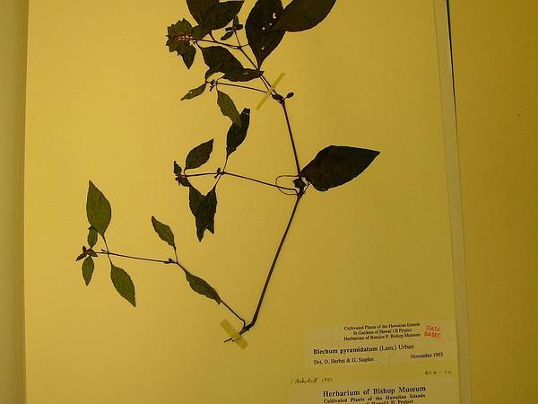 Browne's Blechum (Blechum Pyramidatum) https://www.sagebud.com/brownes-blechum-blechum-pyramidatum