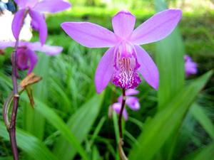 Urn Orchid