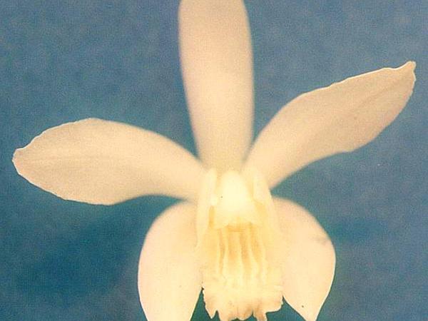 Urn Orchid (Bletilla Striata) https://www.sagebud.com/urn-orchid-bletilla-striata