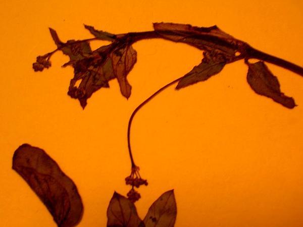 Sharp-Leaf Spiderling (Boerhavia Acutifolia) https://www.sagebud.com/sharp-leaf-spiderling-boerhavia-acutifolia