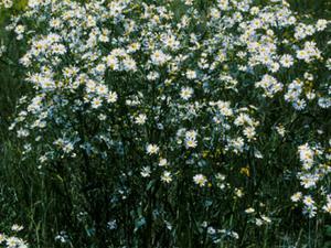 White Doll's Daisy
