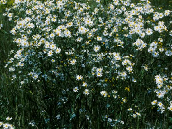 White Doll's Daisy (Boltonia Asteroides) https://www.sagebud.com/white-dolls-daisy-boltonia-asteroides/