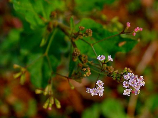 Erect Spiderling (Boerhavia Erecta) https://www.sagebud.com/erect-spiderling-boerhavia-erecta
