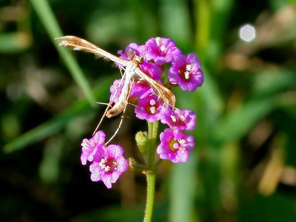 Spiderling (Boerhavia) https://www.sagebud.com/spiderling-boerhavia