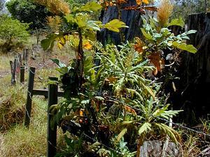 Parrotweed