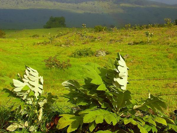 Parrotweed (Bocconia Frutescens) https://www.sagebud.com/parrotweed-bocconia-frutescens