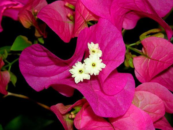 Paperflower (Bougainvillea Glabra) https://www.sagebud.com/paperflower-bougainvillea-glabra/