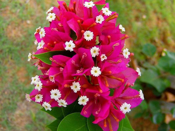 Paperflower (Bougainvillea Glabra) https://www.sagebud.com/paperflower-bougainvillea-glabra