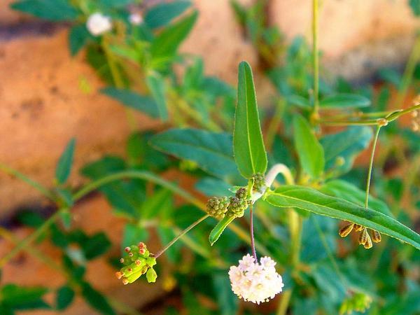 Fivewing Spiderling (Boerhavia Intermedia) https://www.sagebud.com/fivewing-spiderling-boerhavia-intermedia