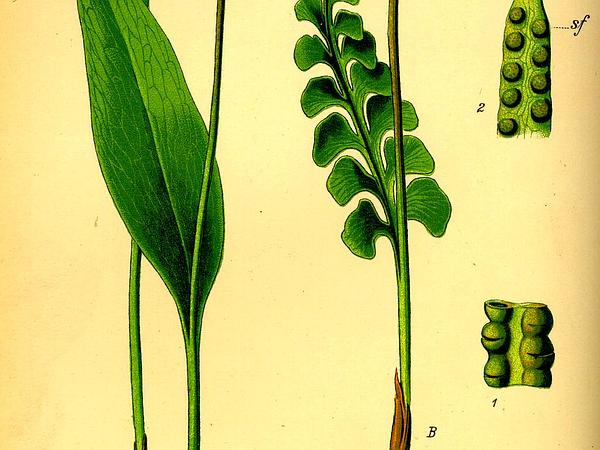 Common Moonwort (Botrychium Lunaria) https://www.sagebud.com/common-moonwort-botrychium-lunaria