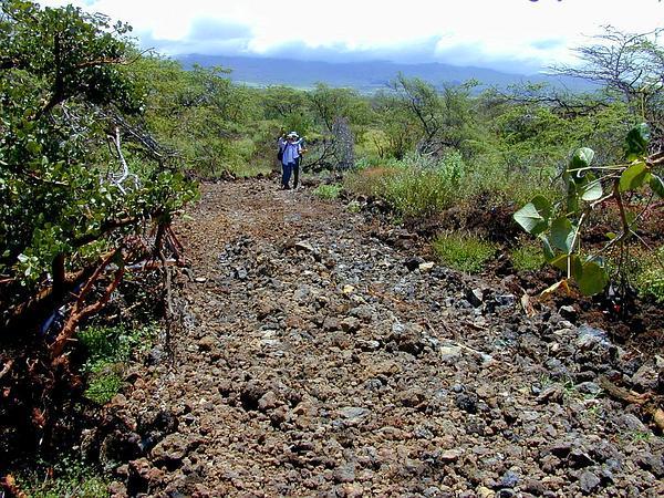 Hawai'I Lady's Nightcap (Bonamia Menziesii) https://www.sagebud.com/hawaii-ladys-nightcap-bonamia-menziesii