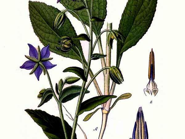 Common Borage (Borago Officinalis) https://www.sagebud.com/common-borage-borago-officinalis