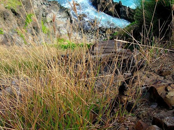 Pitted Beardgrass (Bothriochloa Pertusa) https://www.sagebud.com/pitted-beardgrass-bothriochloa-pertusa