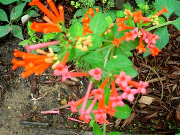 Firecrackerbush (Bouvardia Ternifolia) https://www.sagebud.com/firecrackerbush-bouvardia-ternifolia