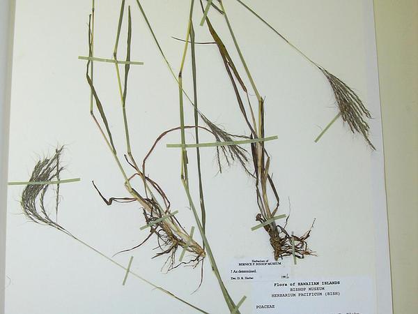 Beardgrass (Bothriochloa) https://www.sagebud.com/beardgrass-bothriochloa