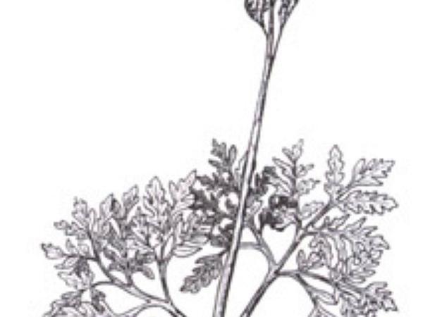 Grapefern (Botrychium) https://www.sagebud.com/grapefern-botrychium
