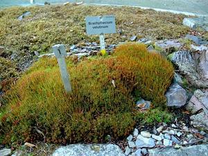 Brachythecium Moss