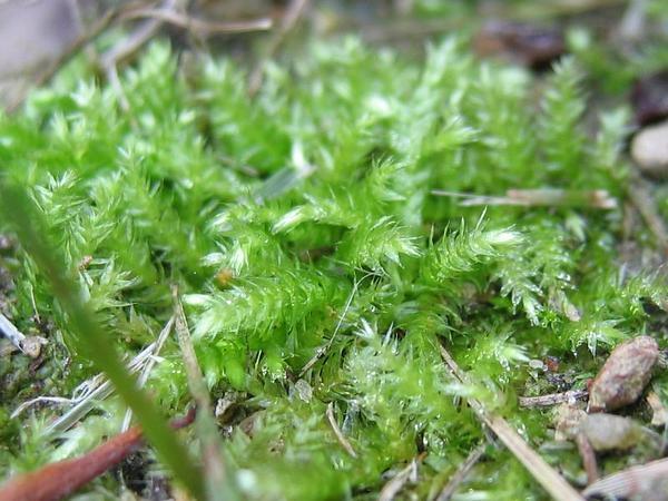 Brachythecium Moss (Brachythecium) https://www.sagebud.com/brachythecium-moss-brachythecium