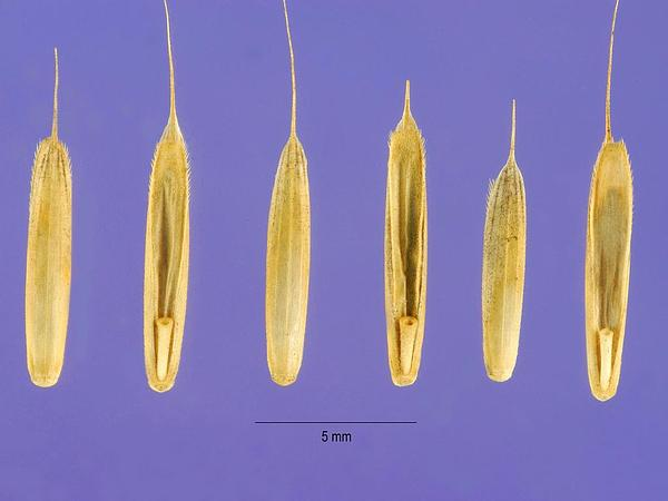 False Brome (Brachypodium) https://www.sagebud.com/false-brome-brachypodium/