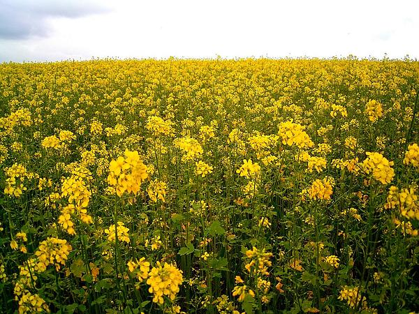 Mustard (Brassica) https://www.sagebud.com/mustard-brassica