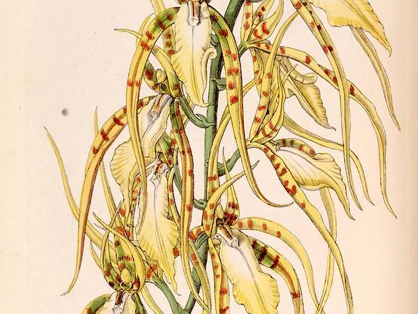 Brassia (Brassia) https://www.sagebud.com/brassia-brassia
