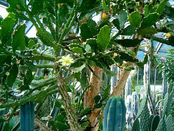Brazilian Pricklypear (Brasiliopuntia Brasiliensis) https://www.sagebud.com/brazilian-pricklypear-brasiliopuntia-brasiliensis