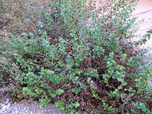 California Brickellbush