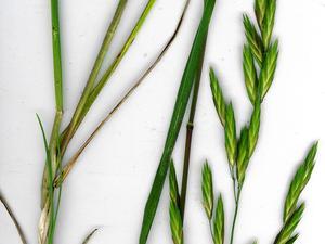 Rescuegrass
