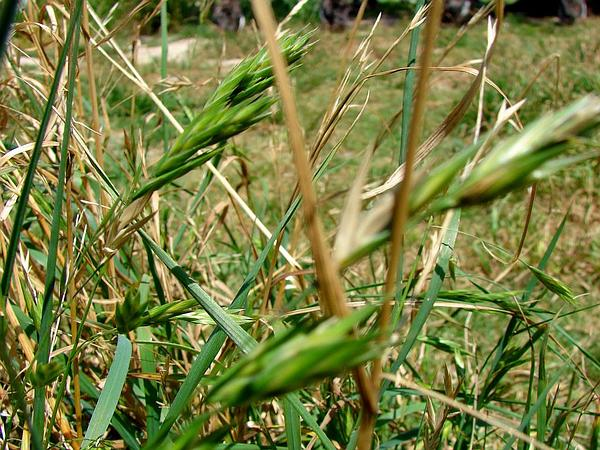 Rescuegrass (Bromus Catharticus) https://www.sagebud.com/rescuegrass-bromus-catharticus