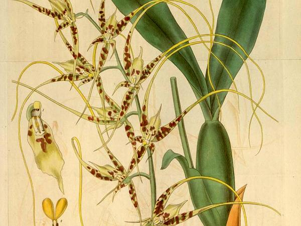 Cricket Orchid (Brassia Caudata) https://www.sagebud.com/cricket-orchid-brassia-caudata