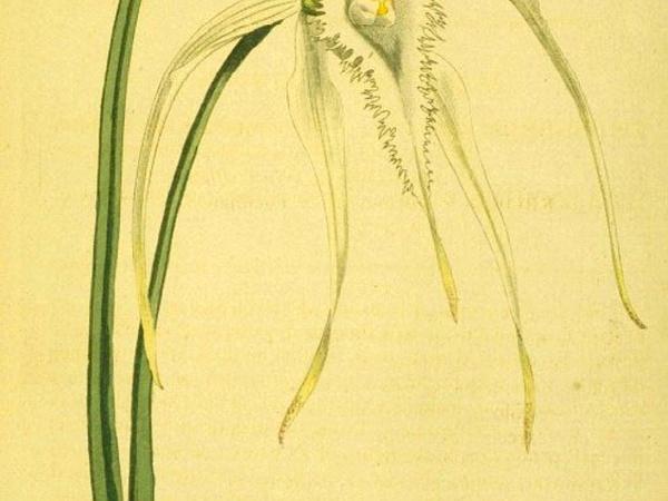 Daddy Longlegs Orchid (Brassavola Cucullata) https://www.sagebud.com/daddy-longlegs-orchid-brassavola-cucullata