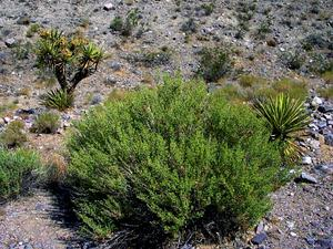 Desert Brickellbush