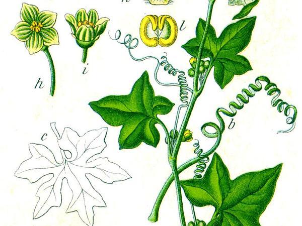 Cretan Bryony (Bryonia Dioica) https://www.sagebud.com/cretan-bryony-bryonia-dioica/
