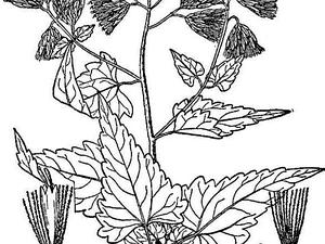 Tasselflower Brickellbush