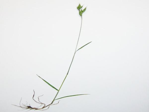 Soft Brome (Bromus Hordeaceus) https://www.sagebud.com/soft-brome-bromus-hordeaceus