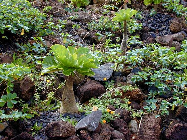 Cabbage On A Stick (Brighamia Insignis) https://www.sagebud.com/cabbage-on-a-stick-brighamia-insignis