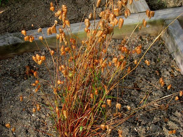 Big Quakinggrass (Briza Maxima) https://www.sagebud.com/big-quakinggrass-briza-maxima