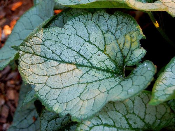 Largeleaf Brunnera (Brunnera Macrophylla) https://www.sagebud.com/largeleaf-brunnera-brunnera-macrophylla