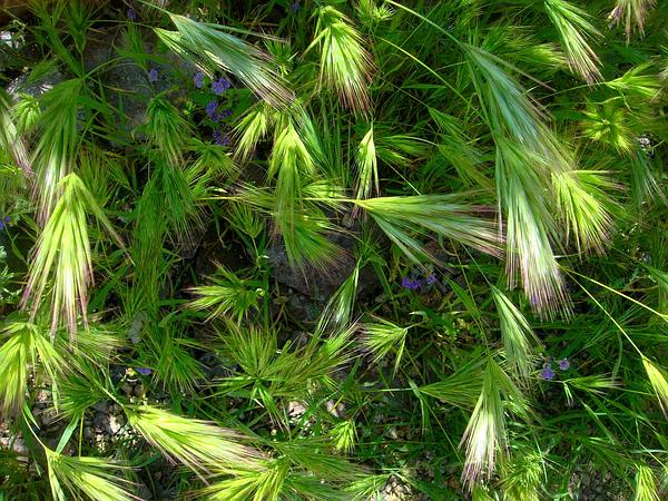 Compact Brome (Bromus Madritensis) https://www.sagebud.com/compact-brome-bromus-madritensis