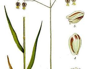 Perennial Quakinggrass