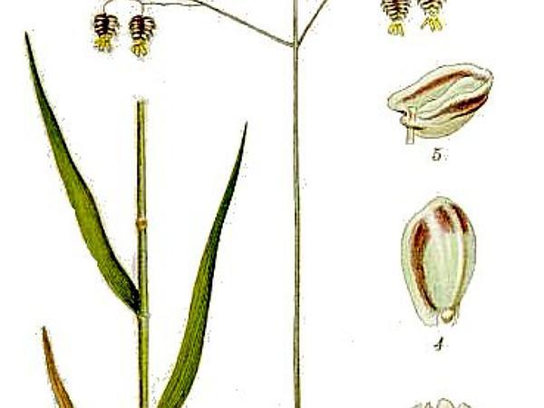 Perennial Quakinggrass (Briza Media) https://www.sagebud.com/perennial-quakinggrass-briza-media/