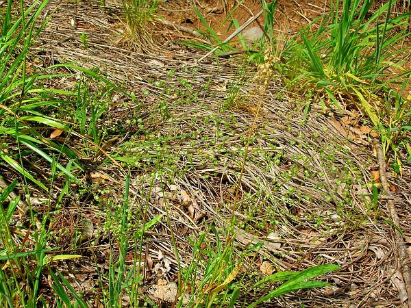 Little Quakinggrass (Briza Minor) https://www.sagebud.com/little-quakinggrass-briza-minor