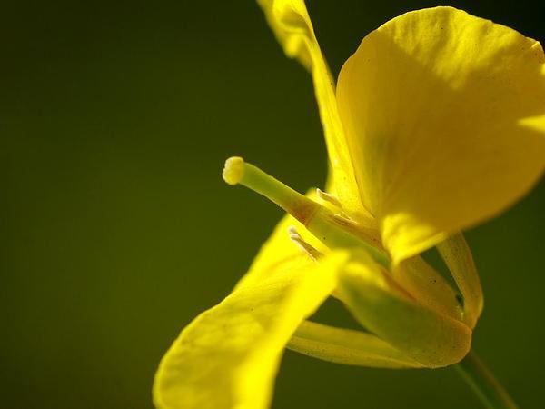 Rape (Brassica Napus) https://www.sagebud.com/rape-brassica-napus